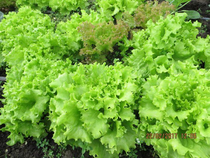 Замовити Салатний мікс +38 066 228-43-57. Доставка по Україні. Органічні овочі від ТМ Світовоч.