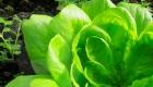 Маслянистий салат