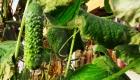 7-й місяць плодоношення огірка
