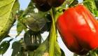Органічний перець