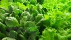 Кочанні салати