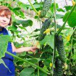 Органічні огірки вже впродажу!
