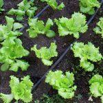 Листові салати