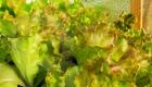 Підростає розсада салатів