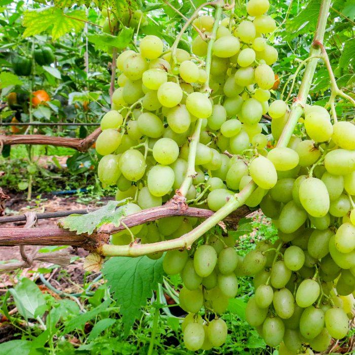 Замовити Виноград органічний +38 066 228-43-57. Доставка по Україні. Органічні овочі від ТМ Світовоч.