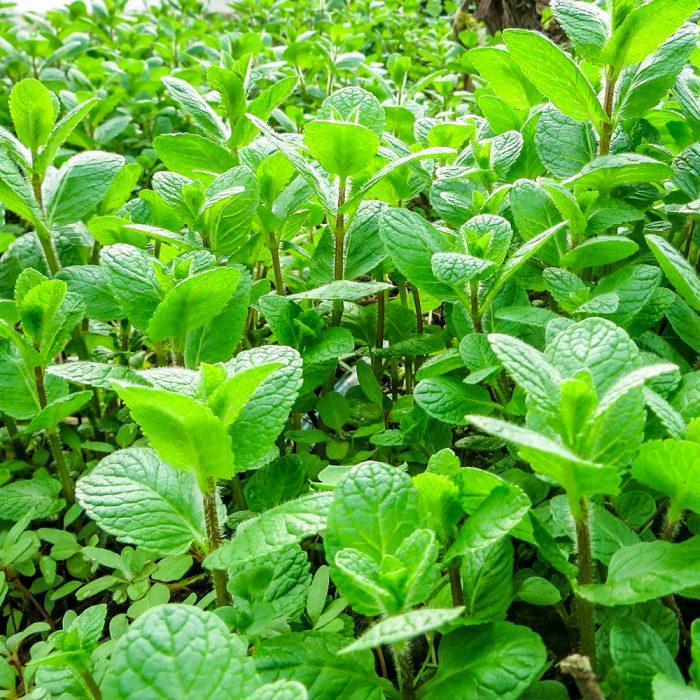 Замовити М'яту +38 066 228-43-57. Доставка по Україні. Органічні овочі від ТМ Світовоч.